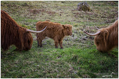 Protected (Sharon Dow Photography) Tags: uk light baby holiday southwales wales rural trekking walking outdoors countryside cow highlands nikon cattle britain hiking country ngc longhair horns scottish naturallight breconbeacons longhorns valley stunning fields welsh calf highlandcattle penyfan protected heilancoo 2016 heifer bannaubrycheiniog parccenedlaetholbannaubrycheiniog wavycoat nikond7100 bghidhealach sharondowphotography april2016