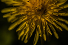 Choose Your Weapons - Dandelion Flower May 2016 (GOR44Photographic@Gmail.com) Tags: flower macro yellow canon petals 100mm dandelion 100mmf28 canon100mm 60d gor44