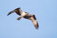 Osprey (jeffloomis1) Tags: bird raptor osprey birdinflight