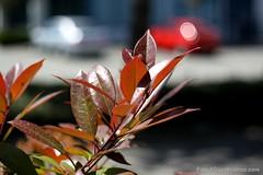 IMG_0900s21FAD (Foto_A_Day) Tags: car vintage lens bokeh foliage 55mm exa exakta steinheil f19 bokehlicious quinon