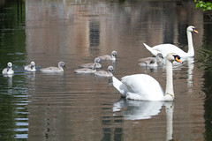 A growing family (Mukumbura) Tags: uk family england male nature birds female pen reflections parents britain wildlife nine wells somerset wellscathedral swans wynn cob cygnets offspring brynn gatehouse wildfowl uglyduckling bishopspalace