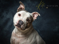 Staffordshire Bull Terrier (Karl Redshaw Photography) Tags: portrait dog brown white friend canine bull terrier patch companion staffordshire staffy loyal