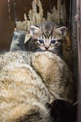 20160502_GorgeousKittens_0010_4x6 (Creativeleigh Shot...by LeighAnneD) Tags: cats cat feline outdoor kittens neighborhood litter felines