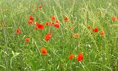 Fr alle Mohnschtigen :) ( eulenbilder - berti ) Tags: rot feld wiese mai grn frhling mohn endlos