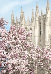 Twin Towers (Explored) (Sharkshock) Tags: pink flowers trees blur flower tree church nature beautiful leaves america dc washington nikon catholic unitedstates cathedral bokeh georgetown capitol tulip nikkor episcopal