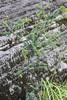 Pultenaea spinosa (Prickly Pea) (Arthur Chapman) Tags: australia queensland spinosa pultenaea taxonomy:class=magnoliopsida taxonomy:family=fabaceae taxonomy:order=fabales taxonomy:kingdom=plantae geo:country=australia blackdowntablelandnationalpark taxonomy:phylum=magnoliophyta geocode:method=gps geocode:accuracy=200meters taxonomy:genus=pultenaea pultenaeaspinosa pricklypea taxonomy:binomial=pultenaeaspinosa taxonomy:common=pricklypea
