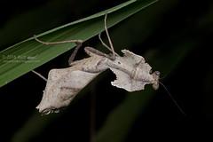 Deroplatys desiccata_MG_0809 copy (Kurt (OrionHerpAdventure.com)) Tags: mantis mantid mantodea deroplatys deroplatysdesiccata giantdeadleafmantis