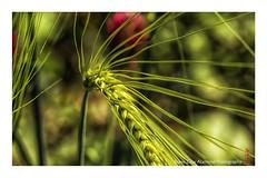 in the field (alamond) Tags: food green field lines canon is wheat crop 7d poppy l usm ef mkii markii 70300 brane llens f456 alamond zalar