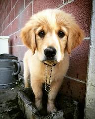 #golden #retriever #goldenretriever #cane #cani #dog #dogs #clody #puppy #puppylove #puppies #cucciolo #cuccioli #cute #cutie #love #sweet #tenero #tenerezza #lovedogs #puppyclass #animals #animali #educatorecinofilo #dogstrainer (DanielOssino_EducatoreCinofilo) Tags: cute love dogs animal animals cane goldenretriever puppy square golden puppies sweet d retriever cutie og squareformat ludwig animali animale trainer cucciolo cani cuccioli clody puppyclass tenero tenerezza lovedogs educatore cinofilo educatorecinofilo iphoneography instagramapp uploaded:by=instagram puccylove dogstrainer