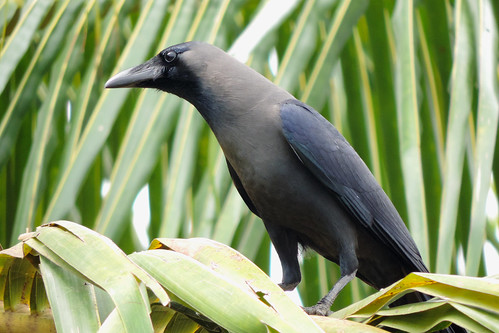 Weerawila Lake - Greynecked Crow