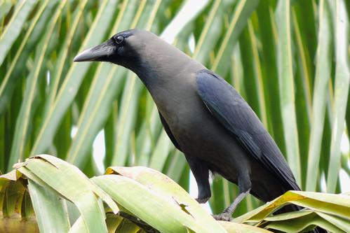 Weerawila Lake - Greynecked Crow