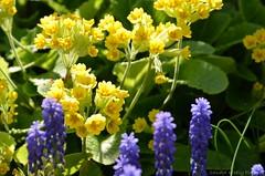 (Sandra Kirly Pictures) Tags: flowers spring outdoor poland krakw cracow botanicalgarden ogrdbotaniczny