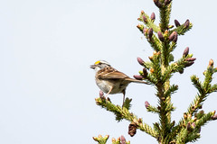 IMG_6713-50.jpg (David A Mitchell) Tags: whitethroatedsparrow