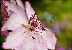 clematis............. (atsjebosma) Tags: pink flower bokeh details clematis may thenetherlands mei groningen bloem 2016 atsjebosma