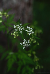 Green & white (Joni Mansikka) Tags: flowers white plant green nature forest suomi finland dark spring outdoor tamronspaf2875mmf28xrdildasphericalif merimasku