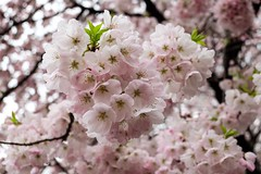 Cherry Blossom V (Douguerreotype) Tags: park city pink flowers urban tree japan cherry tokyo petals blossom cherryblossom sakura