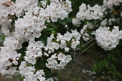 20160604152403_IMG_1334 (arielandrew) Tags: white bush woods glenlyon nature pennsylvania canon eos 750d rebel t6i