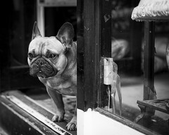 Guard Dog Two (_mr_dave_) Tags: bw dog london monochrome shop zeiss mono blackwhite pug monotone nik bricklane spitalfields carlzeiss guarddog sonyalpha sonnart silverefex fe55mmf18 sonya7rii