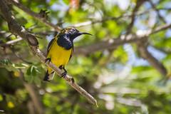 Sunbird of Bali (168tos) Tags: bali bird indonesia back sunbird olived