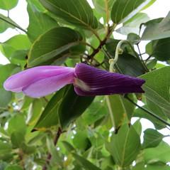 Canavalia galeata (D.Eickhoff) Tags: plant flower purple violet vine bean hawaiian fabaceae pea legume peafamily hawaiianislands hawaii jackbean oahu legumefamily canavalia galeata canavaliagaleata wikiwiki puakauhi taxonomy:binomial=canavaliagaleata oahujackbean