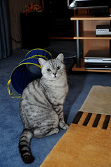 Kater Tobi (Kurt Gritzan) Tags: cats cat germany kittens gatos whiskers nrw katze gelsenkirchen katzen kater britishshorthair bkh britischkurzhaar britishkurzhaar bkhkatzen bkhcat britischkurzharr katertobi bkhkater