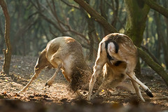 Buck Fight (Roeselien Raimond) Tags: netherlands canon fight deer 7d fallowdeer fighting buck awd rut rutting damadama damhert roeselienraimond