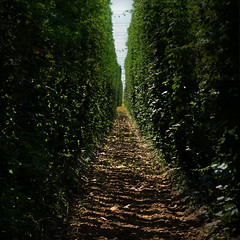 Standing in the shadows of the 9 meters high Hop plantation (Bn) Tags: summer plants plant flower detail macro green industry nature beer field fruit rural geotagged high flavor drink path farm farming harvest climbing slovenia alcohol brewery crop lane plantation production hop agriculture brew topf100 labyrinth depth 9m endless bitterness brewed styrian humulus 100faves goldings cannabaceae lupulus geo:lon=15037172 geo:lat=46298723