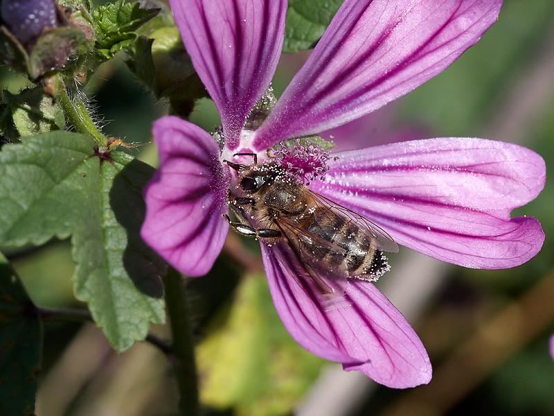 Malve mit Biene