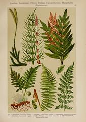 n98_w1150 (BioDivLibrary) Tags: plants flower mushroom fungi ferns woodshole mblwhoilibrary bhl:page=1122816 dc:identifier=httpbiodiversitylibraryorgpage1122816