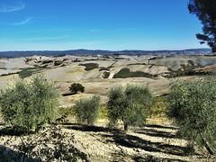 ulivi e crete senesi (Roberto Defilippi) Tags: landscape tuscany toscana paesaggio ulivi rodeos cretesenesi p7000