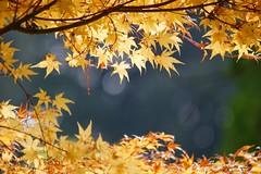 (nobuflickr) Tags: nature japan kyoto autumncolors        thekyotobotanicalgarden
