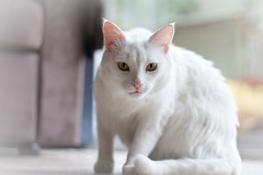 White cat by JuditK, on Flickr
