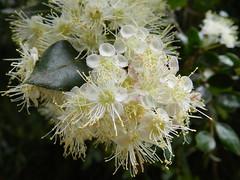 Amomyrtus luma (Mono Andes) Tags: chile cordilleradelacosta luma myrtaceae nahuelbuta regindelbiobo amomyrtus mirtaceae amomyrtusluma