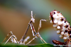 Insecto palo (http://goldenindiaphotography.blogspot.com/) (goldenindia) Tags: nature insects phasmatodea wildanimals insectopalo mygearandme flickrstruereflection1 flickrstruereflection2