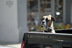 .....BUT INWARDLY,  I LAUGH LIKE A DRAIN (DESPITE STRAIGHT LINES) Tags: street usa dog truck mutt humor hound canine boxerdog humour boxer washingtonstate pedigree laconner guarddog nikonnikon d700 ilobsterit