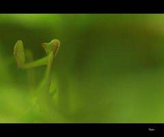 Camo!! (Dhoomakethu!!) Tags: macro green mantis camo canon50mm kenkoextension eos7d