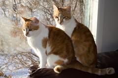 Mickey & Minnie Mouser (C-Dals) Tags: cat nikon feline pair scavengerhunt sh16 sooc d5100