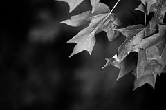 M O N S O O N (vandan desai) Tags: new summer usa white black leaves rain nj somerset jersey