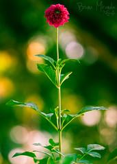 Boas festas! (MIRANDA, Bruno) Tags: flower nature colors brasil pará happynewyear brunomiranda