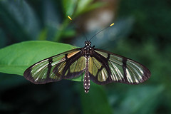 Tena - Giant Glasswing (Drriss) Tags: travel wildlife insects moth butterflies glasswings giantglasswing methonaconfusapsamathe nymphalidae lepidoptera jungle rainforest westernamazonbasin southamerica ecuador tena taxonomy:trinomial=methonaconfusapsamathe taxonomy:genus=methona taxonomy:species=confusapsamathe taxonomy:subtribe=mechanitina taxonomy:tribe=ithomiini taxonomy:subfamily=danainae taxonomy:family=nymphalidae taxonomy:series=papilioniformes taxonomy:superfamily=papilionoidea taxonomy:subsection=bombycina taxonomy:section=cossina taxonomy:infraorder=heteroneura taxonomy:suborder=glossata taxonomy:order=lepidoptera taxonomy:superorder=panorpida taxonomy:infraclass=pterygota taxonomy:subclass=dicondylia taxonomy:class=insecta