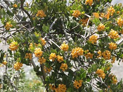 Tristerix verticillatus (Chilebosque) Tags: del loranthaceae quintral verticillatus tristerix parsitas huingn tristerixverticillatus