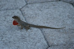 "Anole at Sand Pointe • <a style=""font-size:0.8em;"" href=""http://www.flickr.com/photos/43501506@N07/6614075299/"" target=""_blank"">View on Flickr</a>"