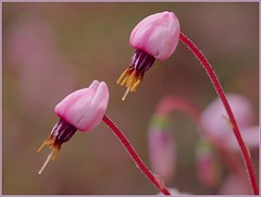 Cranberry Flowers 2 (Horst Beutler) Tags: flowers pentax wildlife cranberry peatbog oxycoccuspalustris moosbeere k20d pentaxart copyrighthorstbeutlerphotography