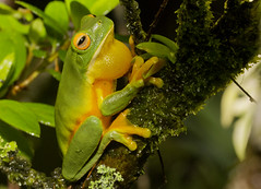 Northern Red-eyed Tree Frog - Litoria xanthomera (Evan Pickett) Tags: red orange male green animal yellow eyes bokeh australia amphibian frog toad qld queensland calling treefrog animalia froglet anura amphibia canonefs60mmf28usmmacro hylidae anuran paluma speedlite580exii litoriaxanthomera evanpickett canoneos550d northernredeyedtreefrog