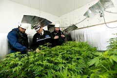 Day 5 - Cannabis Disposal Team - West Midlands Police (West Midlands Police) Tags: plants factory den disposal drugs drug cannabis warrant marajuana sandwell westmidlandspolice chrissims chiefconstable cannabisfactory