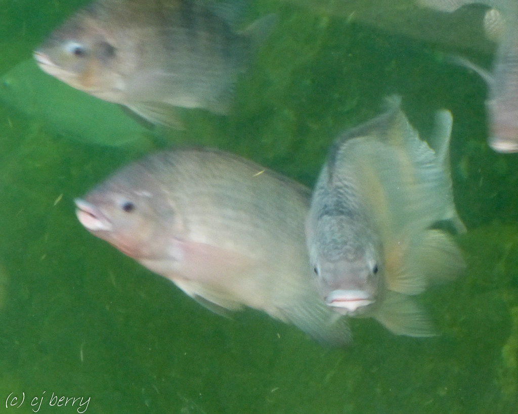 The world 39 s most recently posted photos of tilapia and zoo for Tilapia swimming