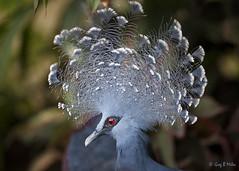 Victoria Crowned Pigeon (Greg Miles) Tags: papuanewguinea portmoresby victoriacrownedpigeon gouravictoria 14mile thenationalorchidgarden