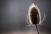 Like a Burr (Yann Tastayre) Tags: winter plant ontario canada nature burlington photoshop canon rebel nemo mount xs burr 56 250mm