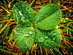Lucky Clover (Chris Willis 10) Tags: green simon water rain believe luck lucky clover sait 4leafclover simonsait