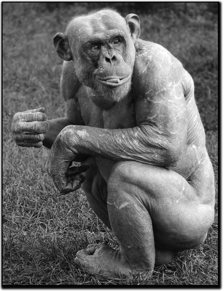 The World's newest photos of alopecia and chimp - Flickr